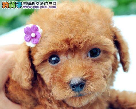 石家庄狗场出售韩系血统泰迪犬 已做好进口疫苗和驱虫