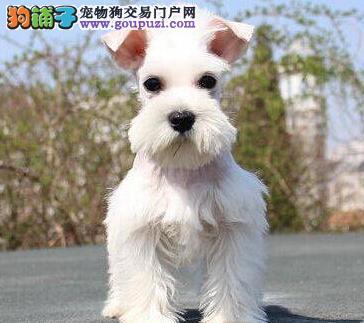 信誉犬舍出售青岛雪纳瑞 颜色多样公母都齐全欢迎购买