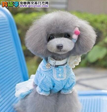 济南出售精品贵宾犬 均可见狗父母 健康血统有保证