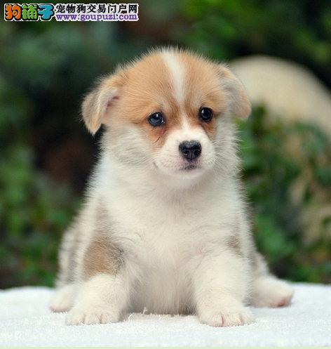 极品威尔士柯基犬出售!多只可选 纯种健康贵族犬柯基犬