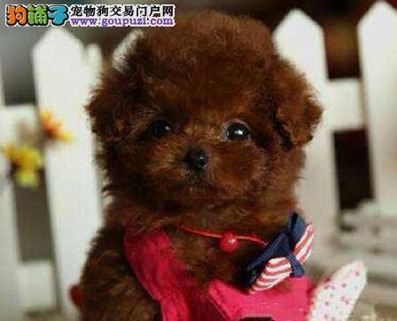 大连专业犬舍直销韩系泰迪犬 支持全国空运发货