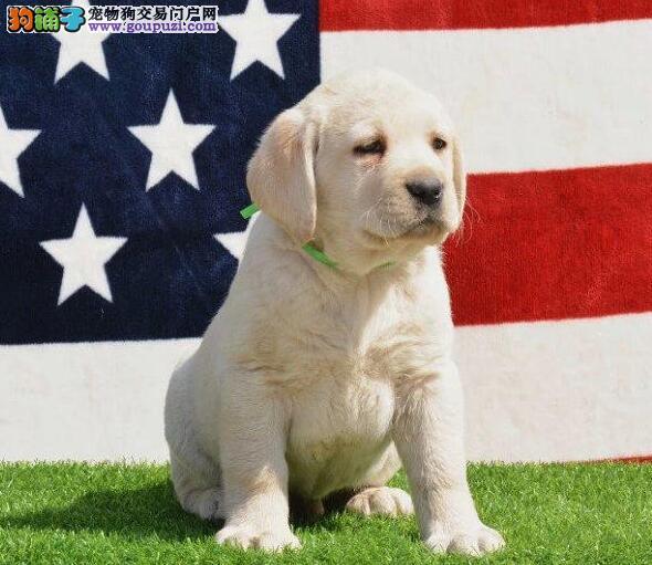 出售纯正血统昆明拉布拉多犬 有血统证书和芯片