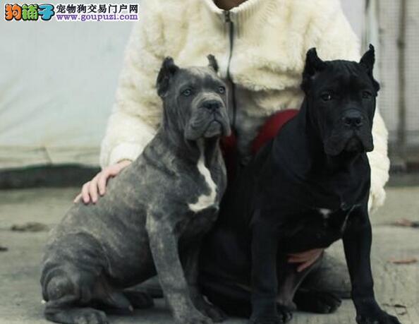 精品纯种卡斯罗犬纯种健康专业狗场繁殖签协议