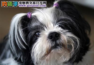 乌鲁木齐犬舍低价热销 西施犬血统纯正微信咨询看狗狗照片