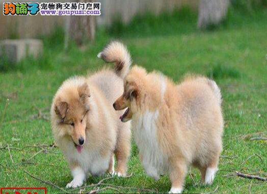 繁殖基地售纯种苏格兰牧羊犬赛级苏牧幼犬出售签协议