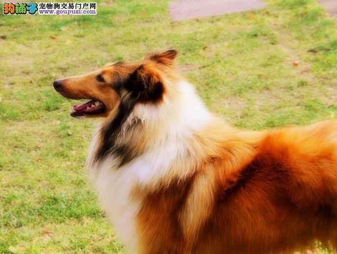 三色苏牧犬 黄白色苏牧犬 高品质纯种健康保质