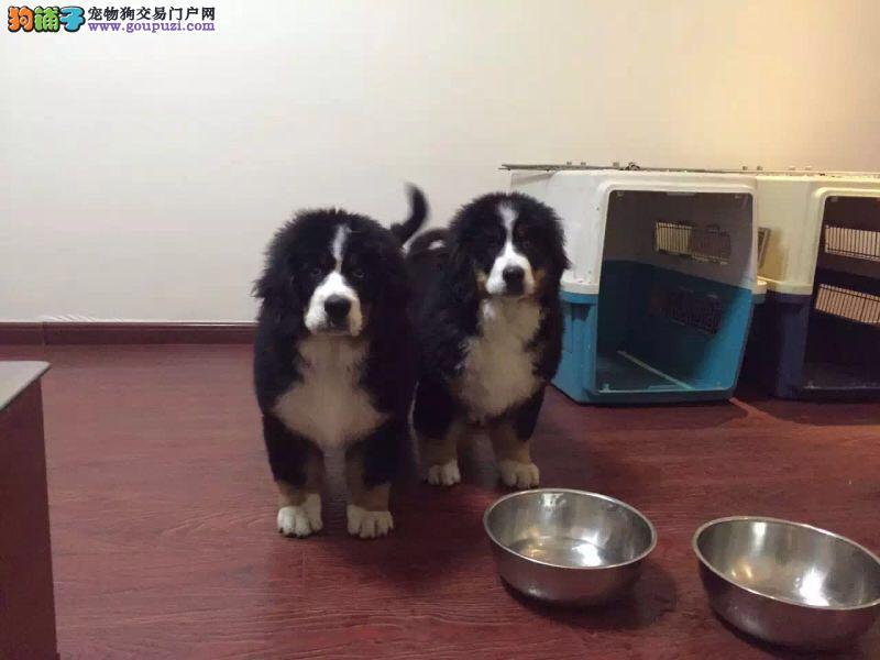 西安出售极品伯恩山幼犬完美品相喜欢它的快来