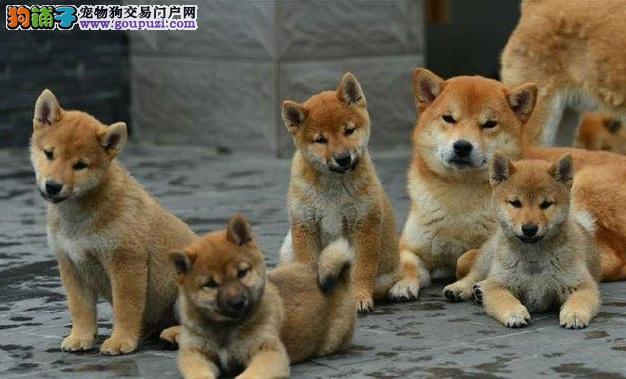 出售纯种高品质柴犬幼犬三针做齐质保签售协议可刷卡