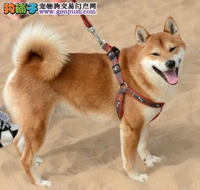 海口自家狗场繁殖直销柴犬幼犬赛级品质保障