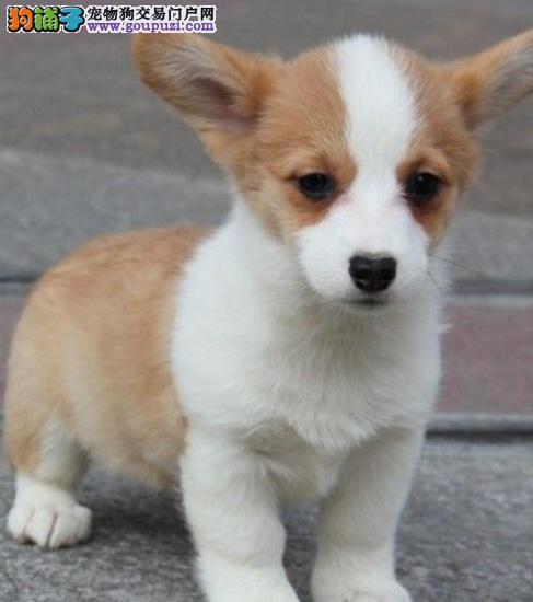 纯种可爱柯基犬,2色,三色幼犬,一分品质一分货