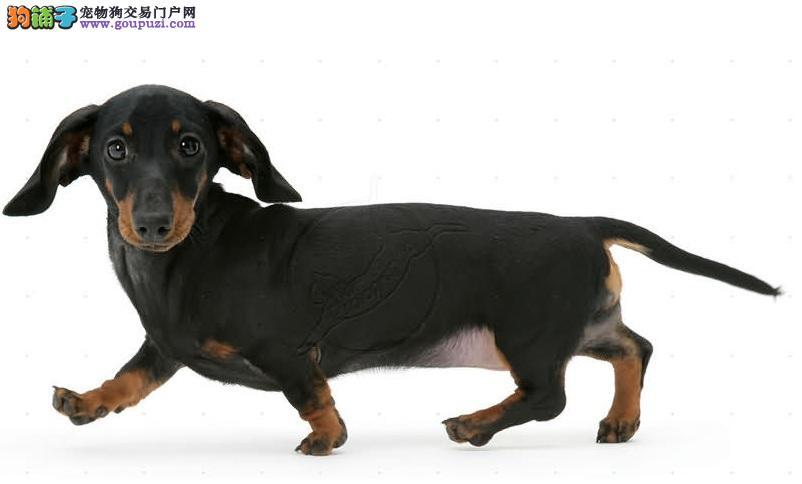 贵州腊肠犬价格.贵州出售腊肠犬小狗. 贵州买卖腊肠犬