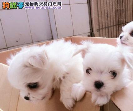 广州精心繁育马尔济斯犬优惠热销中数量有限