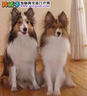 专业繁殖 纯种喜乐蒂幼犬宝宝 健康 品质 保证。
