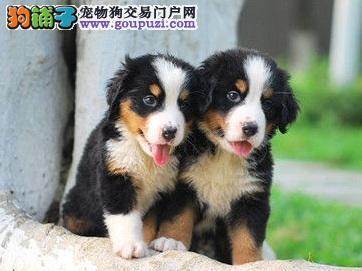 上海体型高大性格温顺忠实伴侣犬伯恩山幼犬出售