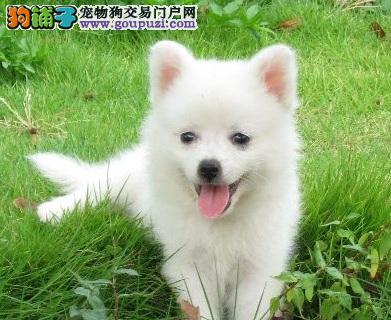 广东专业名犬养殖场提供各大中小型犬类:银狐犬