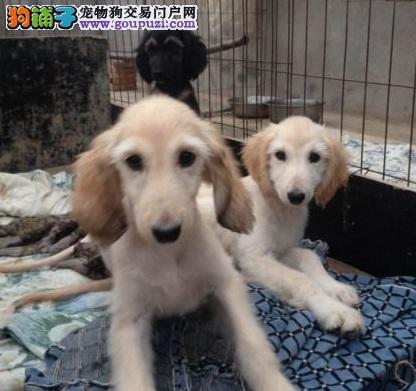 阿富汗猎犬成都最大的正规犬舍完美售后签协议上门选