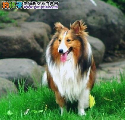 出售纯种边牧幼犬苏格兰牧羊犬、高智商纯种苏牧可爱健康