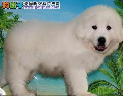 大白熊重庆最大的正规犬舍完美售后品质血统售后均有保障