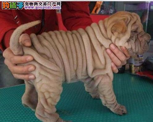沙皮犬幼犬沙皮犬图片 沙皮犬 价钱