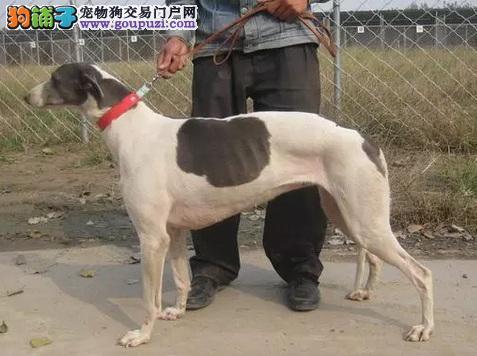 最大的格力犬基地 完美售后爱狗人士优先