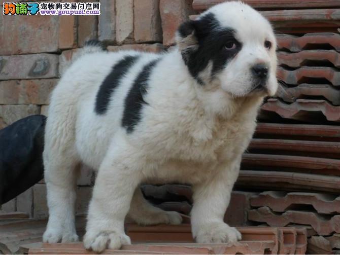 中亚牧羊犬最大的正规犬舍完美售后三针疫苗齐全