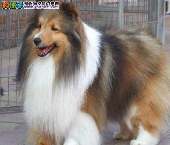 温州贵族高品质苏格兰牧羊犬幼犬 可爱活泼 血统纯种