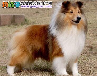 南宁出售纯种喜乐蒂牧羊犬品质保证 放心售后