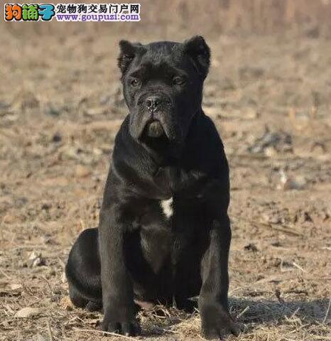 长期出售卡斯罗幼犬健康保证