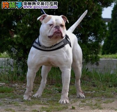 顶级优秀的纯种美国斗牛犬杭州热卖中优质服务终身售后