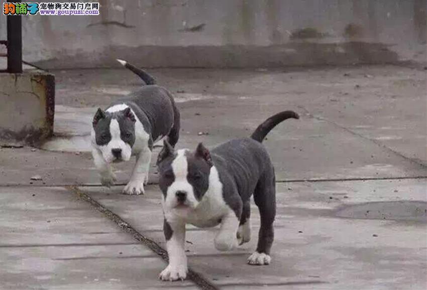 精品美国恶霸犬幼犬一对一视频服务买着放心签订合法售后协议