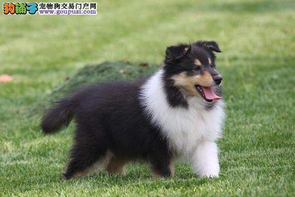 杭州出售纯种健康可爱苏牧幼犬~苏格兰牧羊犬~速来抢购