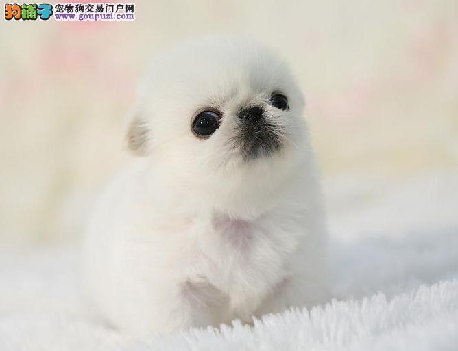 专业正规犬舍热卖优秀的北京京巴品质保障可全国送货
