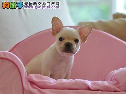 济南出售极品法国斗牛犬幼犬完美品相期待您的光临