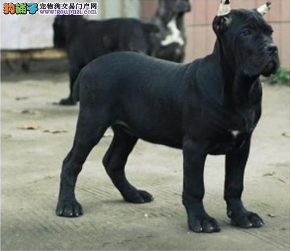 多种颜色的银川卡斯罗犬找爸爸妈妈终身售后保障