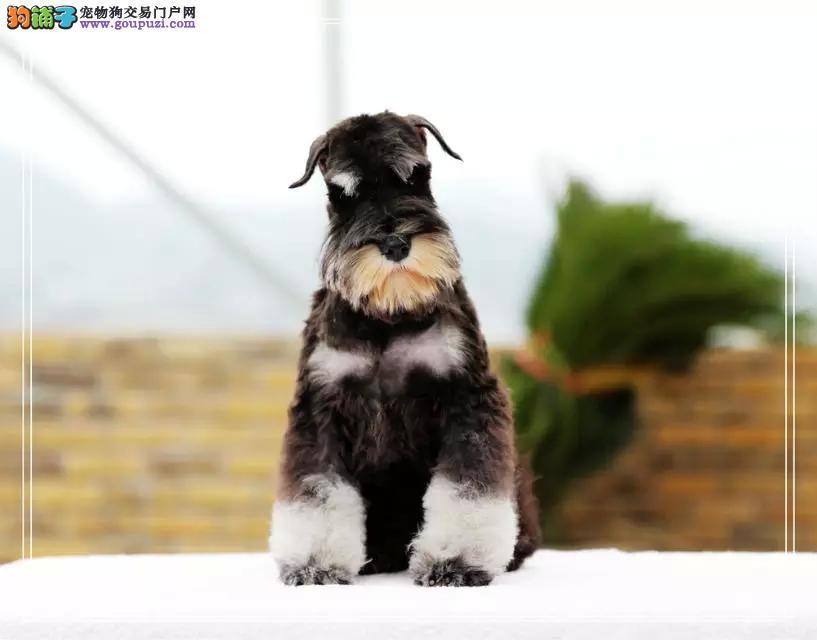 品相好血统纯的福州雪纳瑞幼犬找新家 保证品质和血统