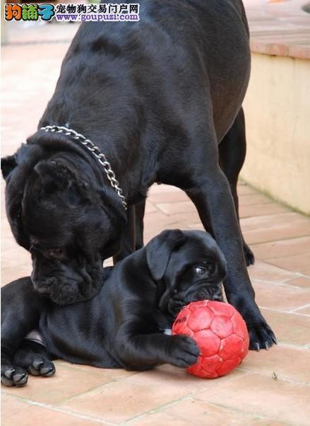 卡斯罗犬南京最大的正规犬舍完美售后价格美丽非诚勿扰