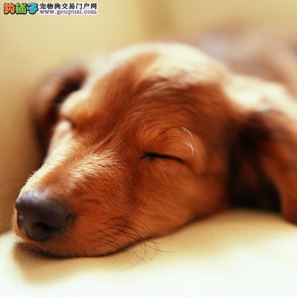 精典品质 毛质好腊肠宝宝出售 正规狗场 保证健康