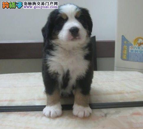 赛级伯恩山幼犬、金牌店铺价位最低、提供养狗指导