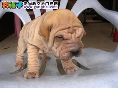 专业繁殖沙皮幼犬血统纯保健康喜欢的朋友来家看狗
