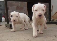 太原正规狗场犬舍直销比特犬幼犬多种血统供选购