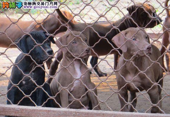 品质健康有保障比特犬热卖中送用品送狗粮
