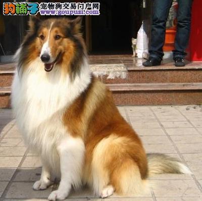 100%纯种健康的南京苏牧出售微信看狗可见父母
