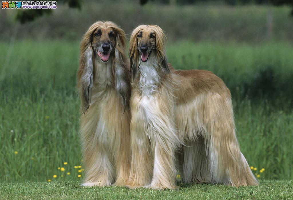 公母均有的阿富汗猎犬找爸爸妈妈多种血统供选购