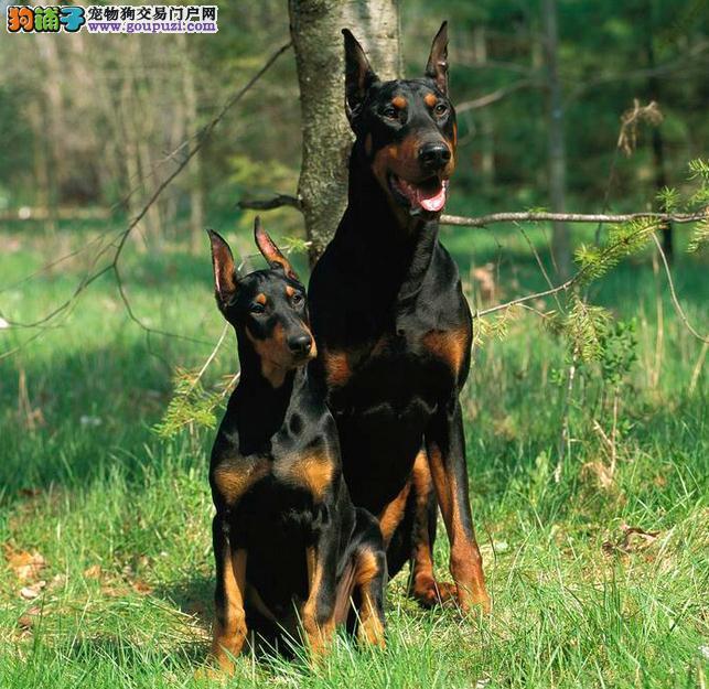 极品顶极护院犬 纯种猛犬杜宾犬 包健康