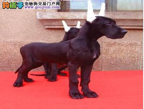 出售大丹犬幼犬、公母都有纯种健康、签订正规合同