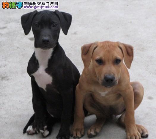 比特犬 不以价格惊天下 但以品质惊世人优惠出售中狗贩子勿扰