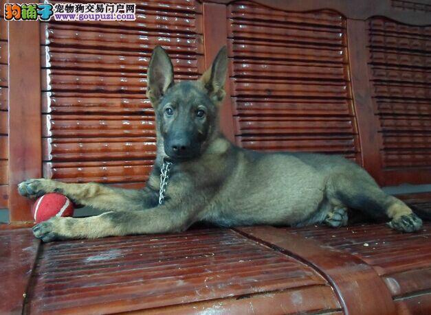 犬舍繁殖 昆明犬幼犬、100%健康纯种 欢迎上门挑