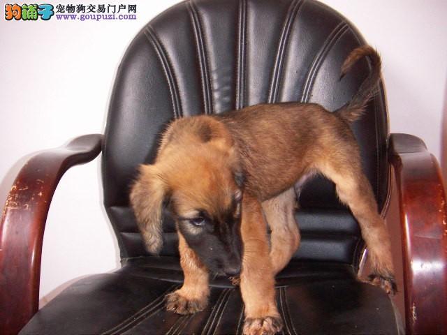 出售阿富汗猎犬专业缔造完美品质签订协议包细小犬瘟热