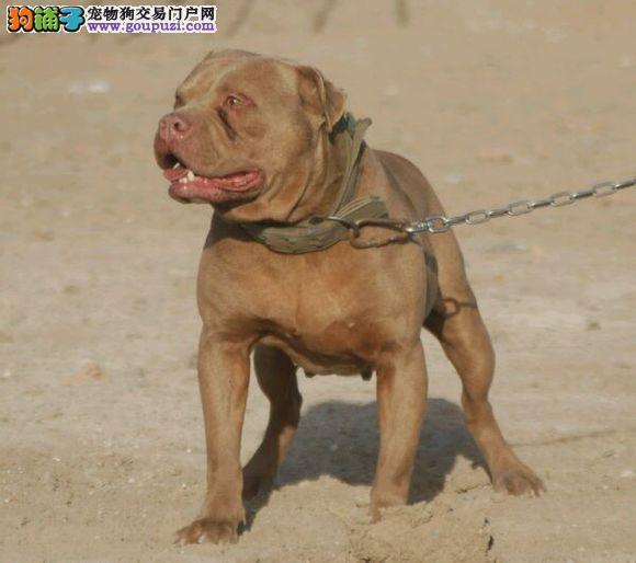 专业正规犬舍热卖优秀武汉比特犬专业品质一流