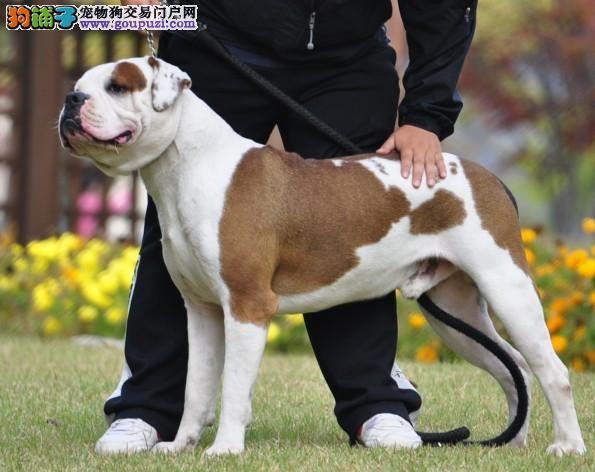 青岛实体店热卖美国斗牛犬颜色齐全欢迎爱狗人士上门选购